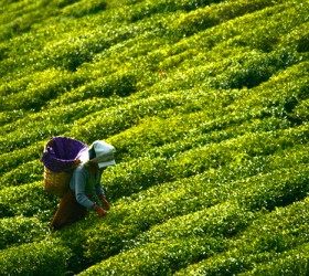 Tea Picker at Glenburn Tea Estate