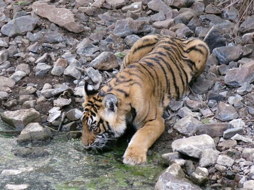 Sultan the tiger cub drinking in Ranthambhore by India Beat